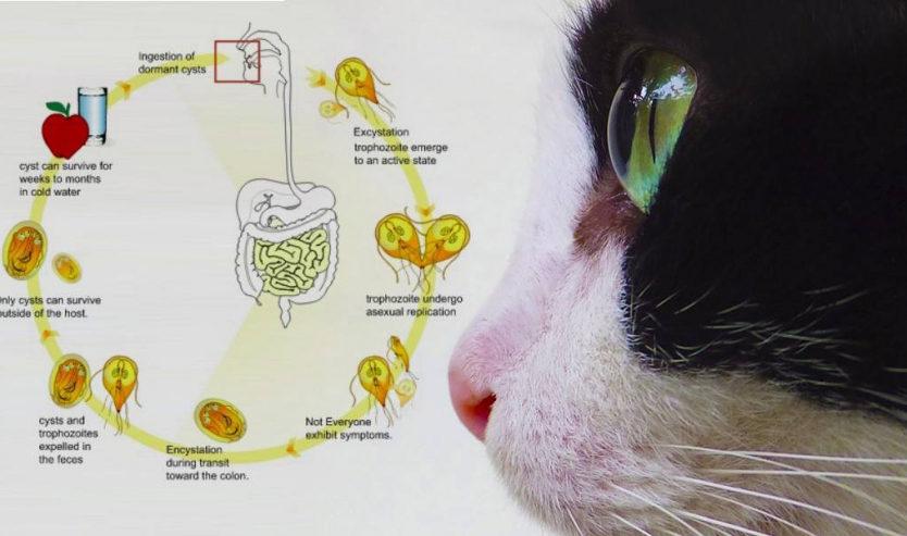 Giardia nel gatto sintomi terapia diagnosi cura