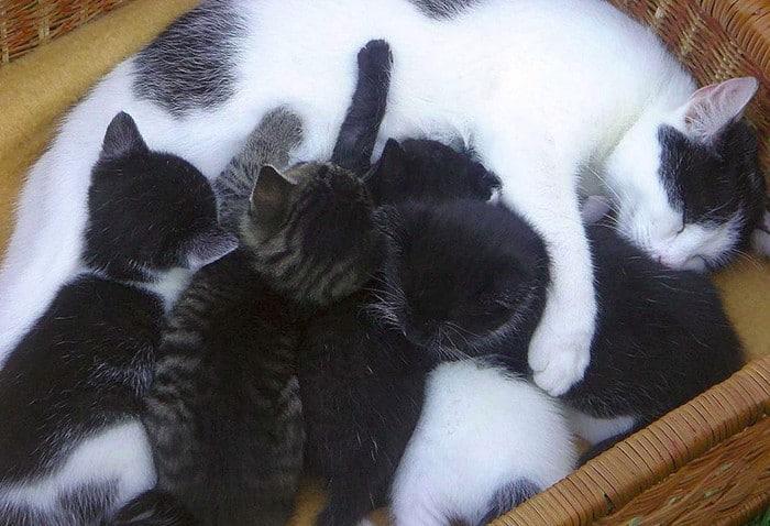 fasi gestazione gatta