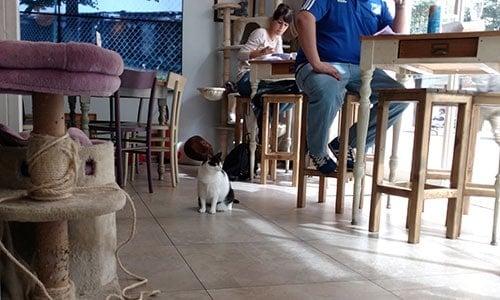 gatti al miagola caffe