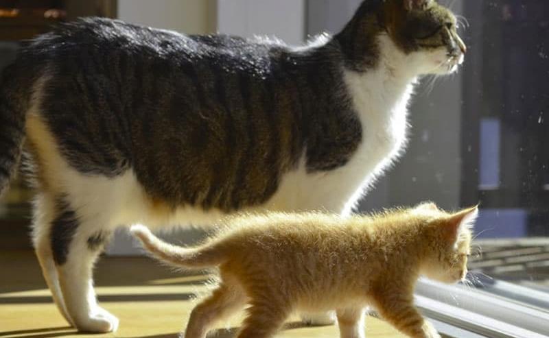 gatto adulto e gattino nuovo in casa