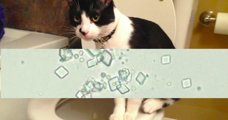 struvite gatti sintomi cura