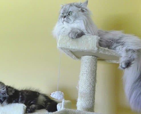 tiragraffi grandi e robusti per gatti XXL