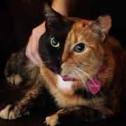 Gatta Venus la bellissima gatta a due facce