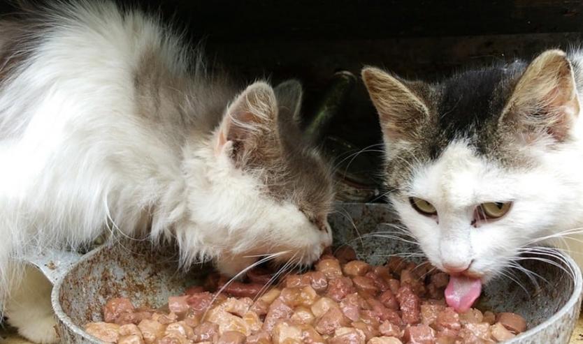 Intolleranze alimentari e allergie del gatto sintomi e cibo ipoallergenico