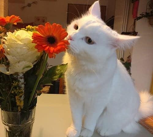 gatto bianco carattere