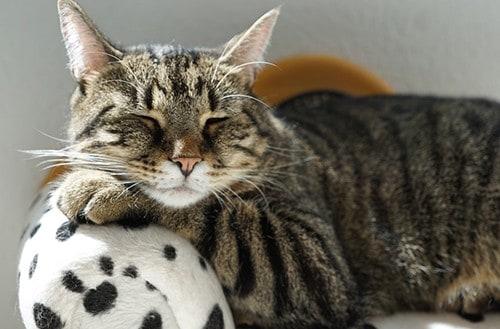 gatto europeo tigrato carattere