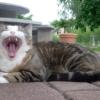 Pulizia dei denti del gatto come fare