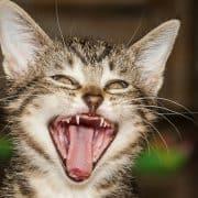 i gatti perdono i denti