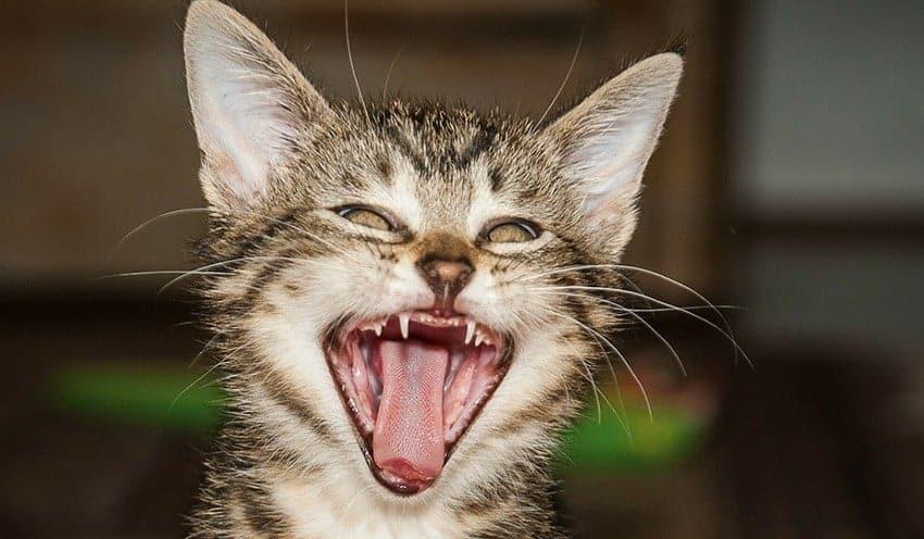 Calendario Eta Gatti.I Gatti Perdono I Denti Miciogatto It