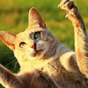 Gatto iperattivo gatto sempre agitato