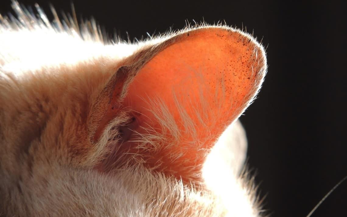 Orecchie del gatto malattie, pulizia e caratteristiche