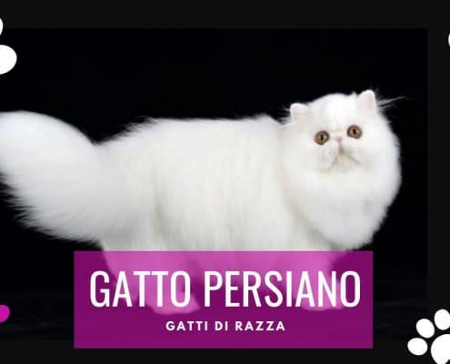 gatto persiano carattere prezzo allevamento