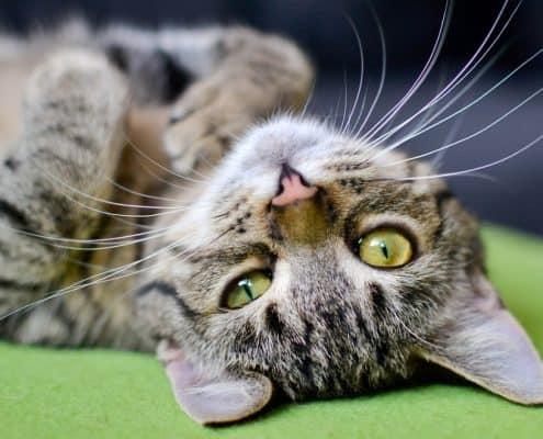Linguaggio dei gatti come capire un gatto