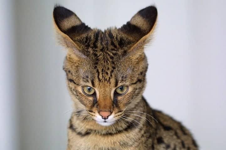 ashera gatto