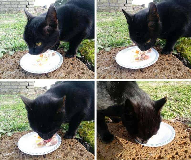 gatto mangia carne