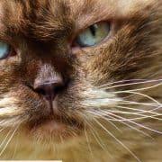 Granuloma eosinofilico gatto terapia cause e cura