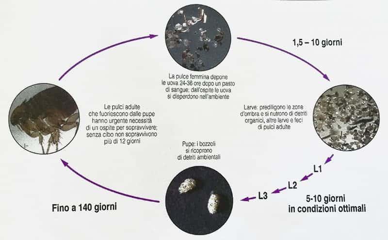 ciclo di vita pulce