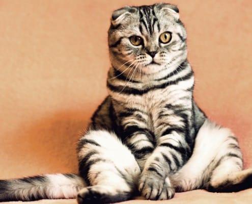 Cistite idiopatica felina cause sintomi terapia