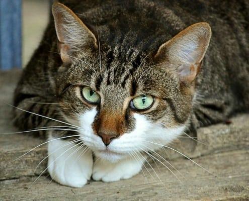Gatto stressato sintomi e rimedi