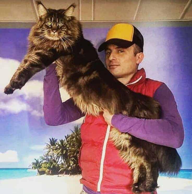 gatto piu lungo del mmondo maine coon