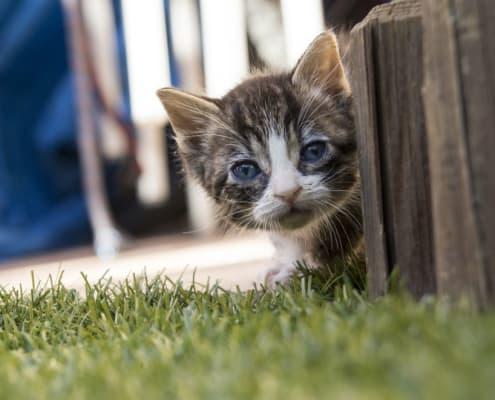 crescita del gatto fasi di sviluppo