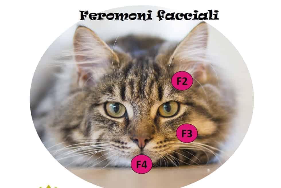 feromoni facciali nel gatto