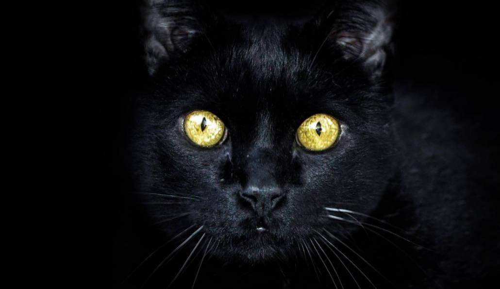 gatti neri bellissimi