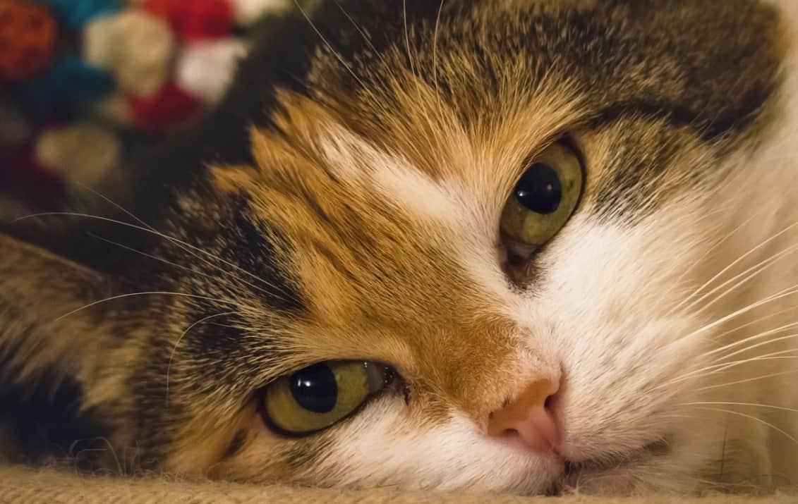 Sintomi avvelenamento gatto e cosa fare