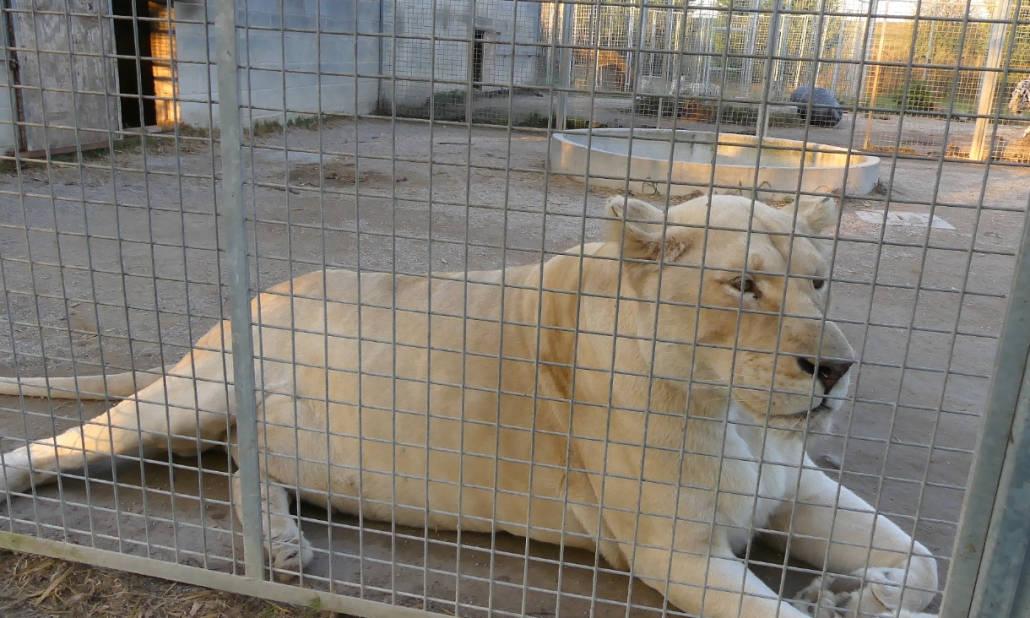 tiger experience campolongo veneto leonessa
