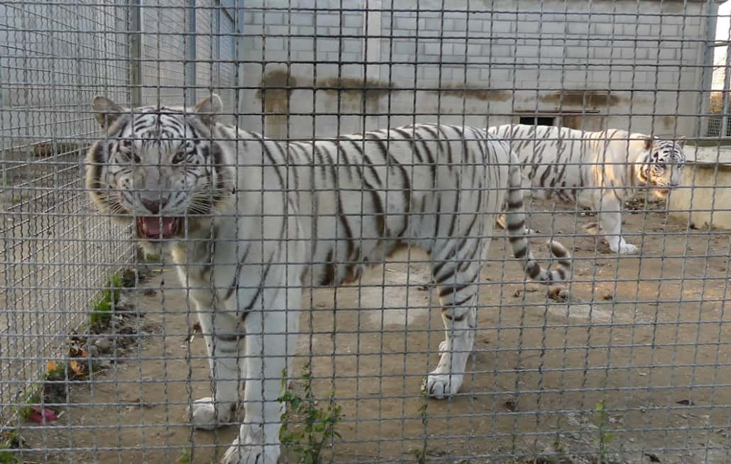 tiger experience padova tigre