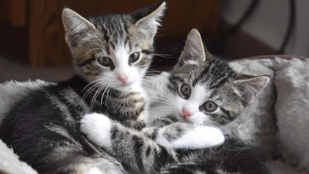 Calendario Eta Gatti.Convivenza Tra Gatti In Casa E Possibile Miciogatto It