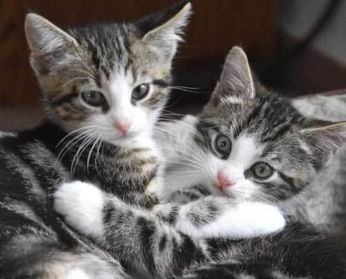 Convivenza tra gatti meglio un gatto o di più