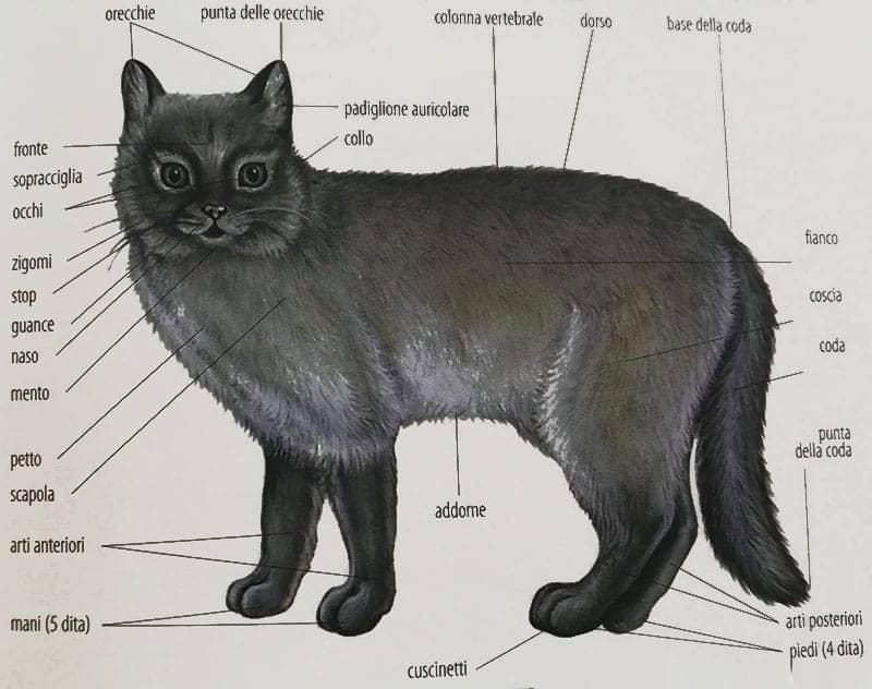 Anatomia del gatto parti del corpo