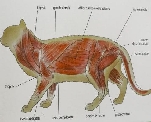 anatomia muscoli gatto