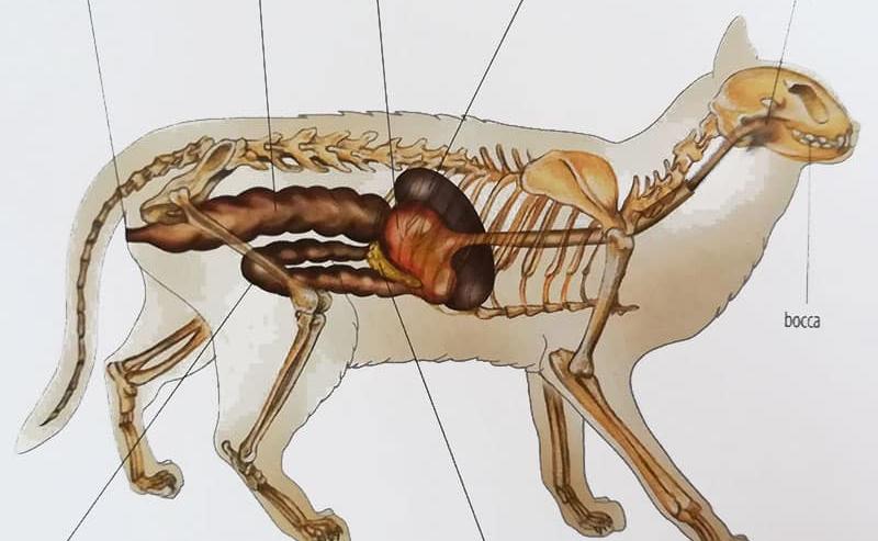 apparato digerente gatto digestione