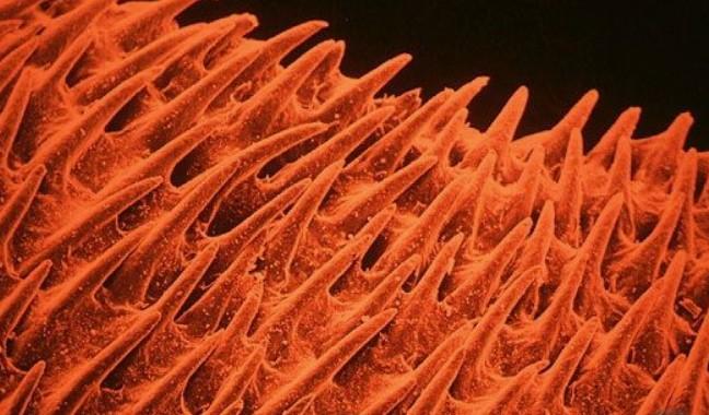 lingua gatto microscopio