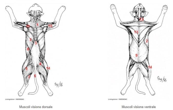 muscoli del gatto