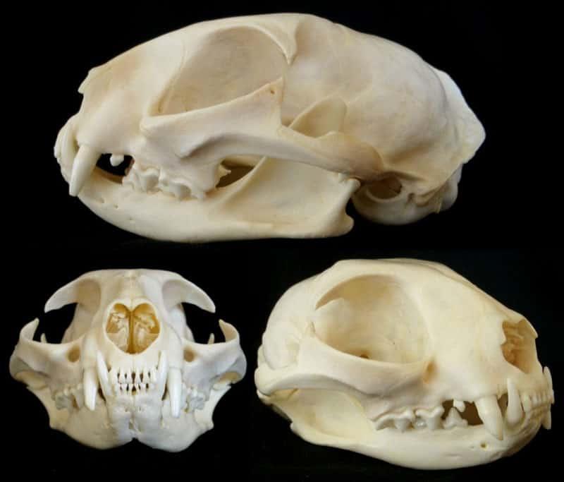 scheletro testa gatto