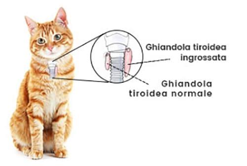 tiroide gatto ipertiroidismo ipotiroidismo