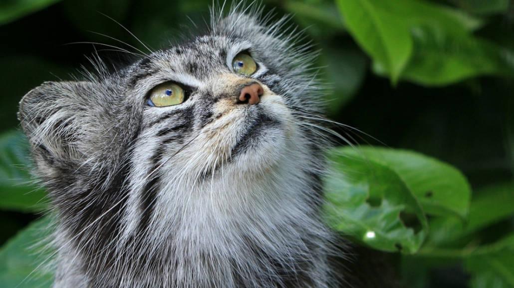 gatto delle steppe