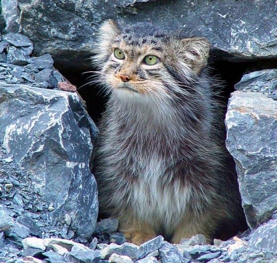 gatto di pallas delle steppe