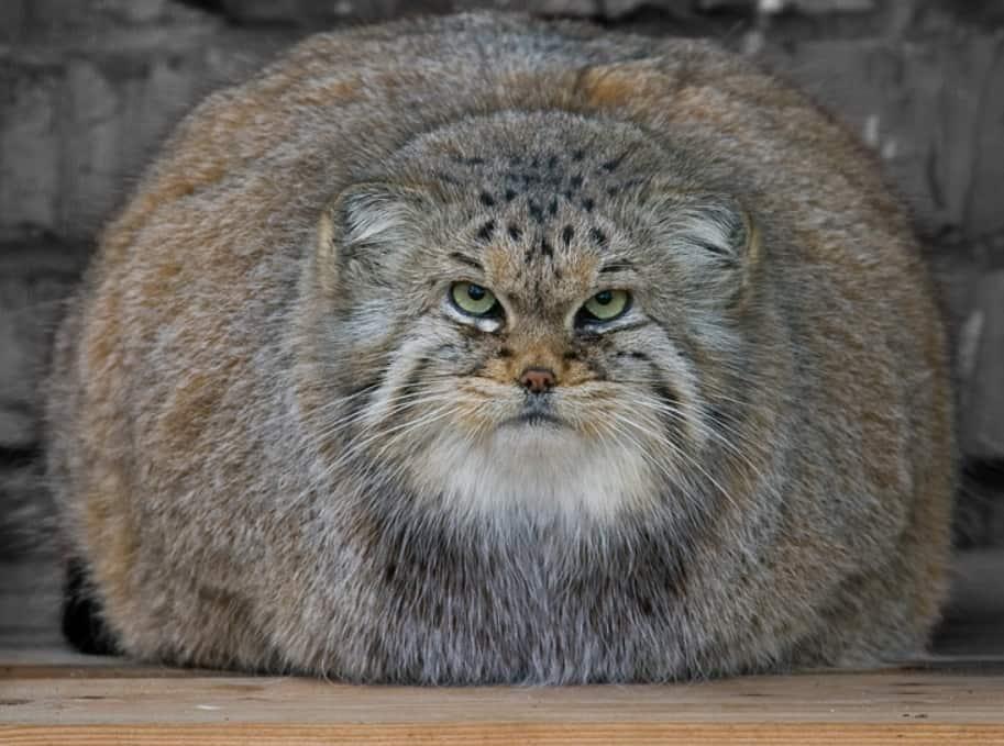 gatto di pallas otocolobus