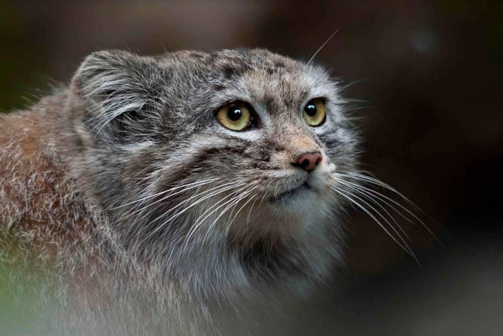 gatto manul claudia rocchini