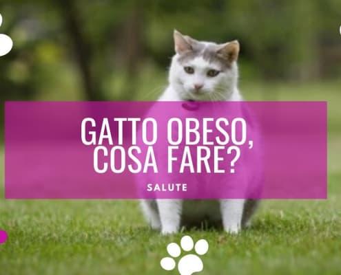 gatto obeso gatto grasso ciccione cosa fare
