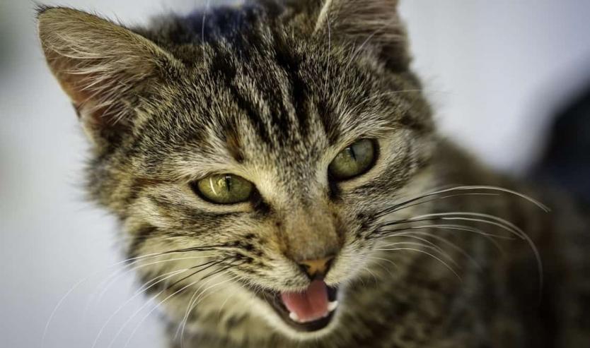 Gatto con respiro affannoso perché il gatto respira male