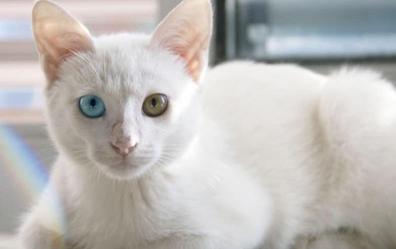 gatti bianchi gatto sordo gatto albino