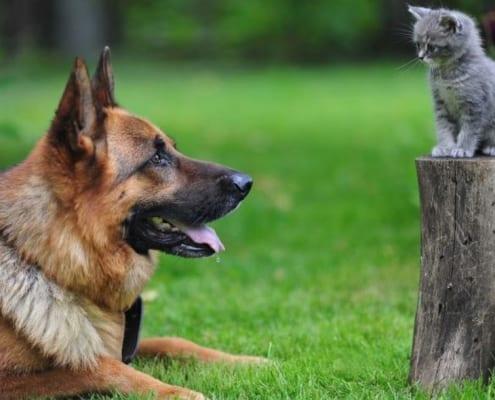 Pastore tedesco carattere, temperamento e convivenza con il gatto