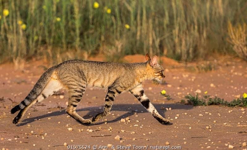 foto gatto selvatico africano felis silvestris Lybica