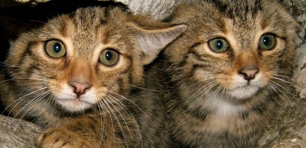 foto di gattino selvatico
