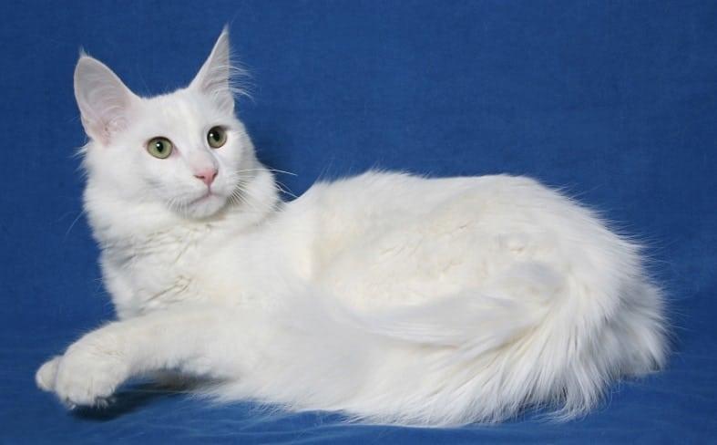 gatto angora bianco